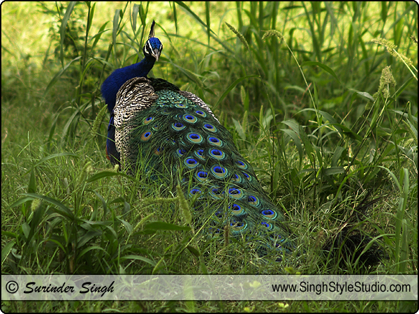 National Bird of India Peacock Bird Photography