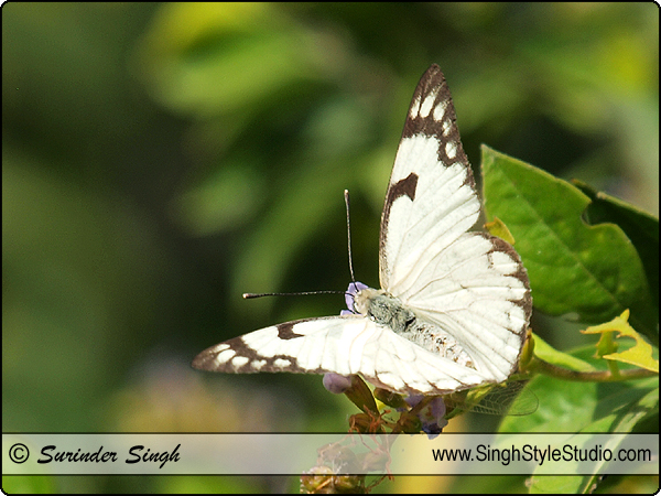 Butterflies Photography