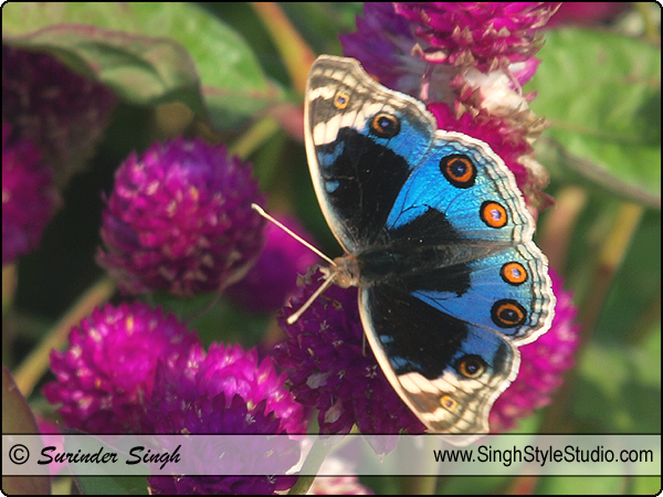 Butterfly Photography Nature Photographer Delhi India