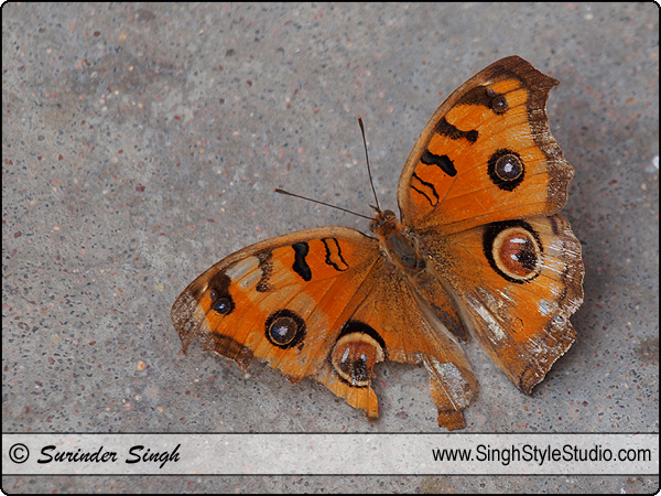 Butterfly Photography Peacock Pansy Junonia Almana Nature Photographer Delhi India