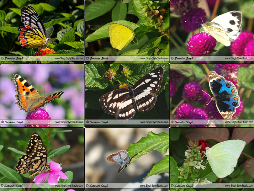 Butterfly Serial Photography in India by Indian Nature and Wldlife Photographer