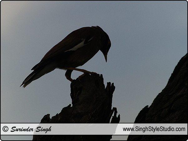 Silhouette Birds Nature Photography Delhi India